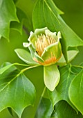 RHS GARDEN, WISLEY, SURREY: CLOSE UP PLANT PORTRAIT OF THE GREEN AND ORANGE FLOWER OF LIRIODENDRON TULIPIFERA - TREE, FLOWERS, FLOWERING, JUNE, SUMMER, TULIP TREE, DECIDUOUS