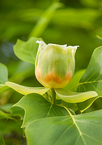 RHS_GARDEN_WISLEY_SURREY_CLOSE_UP_PLANT_PORTRAIT_OF_THE_GREEN_AND_ORANGE_FLOWER_OF_LIRIODENDRON_TULI