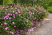 RHS GARDEN, WISLEY, SURREY: BOWES LYON ROSE GARDEN - PATH WITH DAVID AUSTIN ROSE - ROSA SKYLARK - AUSIMPLE, AGM, SHRUB, SCENT, SCENTED, FRAGRANT, JUNE, SUMMER, FLOWERS