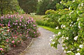RHS GARDEN, WISLEY, SURREY: BOWES LYON ROSE GARDEN - LAWN AND PATH WITH DAVID AUSTIN ROSE - ROSA SKYLARK - AUSIMPLE, AGM, SHRUB, SCENT, SCENTED, FRAGRANT, JUNE, SUMMER, FLOWERS