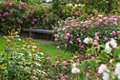 RHS GARDEN, WISLEY, SURREY: BOWES LYON ROSE GARDEN - LAWN, WOODEN BENCH, DAVID AUSTIN ROSE - ROSA SKYLARK - AUSIMPLE, AGM, SHRUB, SCENT, SCENTED, FRAGRANT, JUNE, SUMMER, FLOWERS