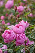 RHS GARDEN, WISLEY, SURREY: CLOSE UP PLANT PORTRAIT OF THE PINK FLOWERS OF DAVID AUSTIN ROSE - ROSA SKYLARK - AGM - AUSIMPLE. SCENT, SCENTED, FRAGRANT, SHRUB, JUNE, SUMMER, PETALS