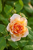 RHS GARDEN, WISLEY, SURREY: CLOSE UP PLANT PORTRAIT OF THE ORANGE FLOWER OF DAVID AUSTIN ROSE - ROSA GRACE - AUSKEPPY, SCENT, SCENTED, FRAGRANT, SHRUB, JUNE, SUMMER, PETALS