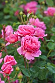 GLYNDEBOURNE, EAST SUSSEX: CLOSE UP OF THE PINK FLOWER OF A ROSE - ROSA PRINCESS ALEXANDRA OF KENT. SHRUB, ROSES, PETALS, FLOWERS, P[INK, JUNE