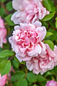GLYNDEBOURNE, EAST SUSSEX: CLOSE UP OF THE PINK FLOWER OF A ROSE - ROSA ALBERTINE. CLIMBER, CLIMBING, ROSES, PETALS, FLOWERS, JUNE