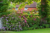 THE COACH HOUSE, SURREY: AZALEAS AND RHODODENDRONS IN BORDER BY LAWN IN FRONT GARDEN. PINK/PURPLE PLANTING. COMBINATION, FLOWER,SHRUB,SUMMER,WOODLAND,SHADE,SHADY,ACID SOIL, SHRUB.