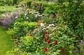 THE COACH HOUSE, SURREY: SUMMER BORDER WITH ROSA EGLANTYNE,ROSA WILLIAM SHAKESPEARE,ALCHEMILLA MOLLIS, NEPETA RACEMOSA WALKERS LOW. COTTAGE GARDEN PLANTS. FLOWERS