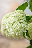 THE COACH HOUSE, SURREY: CLOSE UP OF FLOWER OF HYDRANGEA ARBORESCENS ANNABELLE. PLANT PORTRAIT, WHITE & GREEN,LIME,SUMMER,PURE,PURITY,CALM,SERENE.