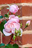 THE COACH HOUSE, SURREY: CLOSE UP OF ROSA THE GENEROUS GARDENER AGAINST BRICK WALL. PLANT PORTRAIT, PINK, ROSE, BUDS, SHRUB, SUMMER, FLOWER, DELICATE.