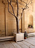 CHATSWORTH HOUSE,DERBYSHIRE:FLORAS TEMPLE. ORIGINAL SKELETON OF OLD CAMELLIA RETICULATA CAPTAIN RAWES PLANTED BY JOSEPH PAXTON IN 1850. IN VERSAILLES CONTAINER.