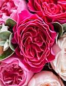 THE REAL FLOWER COMPANY:CLOSE UP OF DEEP PINK ROSES WITH SENECCIO IN FLORAL ARRANGEMENT. PRETTY, PLANT PORTRAIT.