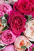 THE REAL FLOWER COMPANY:CLOSE UP OF DEEP, BLUSH AND PALE PINK ROSES WITH SENECCIO IN FLORAL ARRANGEMENT. PRETTY, PLANT PORTRAIT.