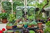 THE LODGE, BURFORD, OXFORDSHIRE: INTERIOR OF CONSERVATORY WITH WARDIAN CASE WITH COLLECTION OF SUCCULENTS INCLUDING AEONIUMS.