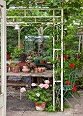 THE LODGE, BURFORD, OXFORDSHIRE: CONSERVATORY WITH WARDIAN CASE WITH COLLECTION OF SUCCULENTS INCLUDING AEONIUMS. WITH PELARGONIUMS AND PINK & RED GERANIUMS IN TERRACOTTA POTS