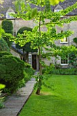 THE LODGE, BURFORD, OXFORDSHIRE: GINKGO BILOBA TREE ON LAWN BY HOUSE WITH YEWS AND CONIFERS. GREEN, SUMMER.
