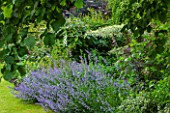 THE GREAT HOUSE, BURFORD, OXFORDSHIRE: NEPETA (CATMINT) IN FLOWER WITH CORNUS CONTROVERSA VARIEGATA, SAMBUCUS NIGRA AND DIGITALIS - FOXGLOVES