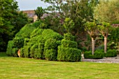 OXLEAZE FARM, OXFORDSHIRE: SCULPTED BOX HEDGE WITH ROBINIA INERMIS COMING INTO LEAF. TOPIARY, GREEN, EVERGREEN, SUMMER, LAWN, GRASS, GARDEN, LUSH, FOLIAGE