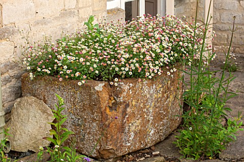 OXLEAZE_FARM_OXFORDSHIRE_ERIGERON_KARVINSKIANUS_PLANTED_IN_OLD_STONE_TROUGH_GROUND_COVER_SUMMER_DAIS
