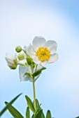 OXLEAZE FARM, OXFORDSHIRE: CLOSE UP PLANT PORTRAIT OF WHITE FLOWER OF CARPENTERIA CALIFORNICA OR TREE ANEMONE AGAINST BLUE SKY. SCENTED, DECIDUOUS SHRUB. DELICATE, BEAUTY, BLOOM