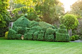 OXLEAZE FARM, OXFORDSHIRE: SCULPTED BOX HEDGE WITH ROBINIA INERMIS. LAWN, GRASS, GREEN, CLIPPED, TOPIARY, SUMMER, LUSH