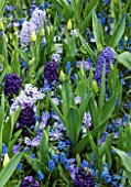 KEUKENHOF GARDENS, NETHERLANDS: PLANT ASSOCIATION - HYACINTH BLUE EYES, HYACINTH BLUE JACKET, HYACINTH AIDA, ANEMONE BLANDA BLUE SHADES, MUSCARI BLUE MAGIC - BULBS, SPRING, MAY