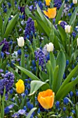 KEUKENHOF GARDENS, NETHERLANDS: HYACINTH BLUE EYES, HYACINTH BLUE JACKET, HYACINTH AIDA, MUSCARI BLUE MAGIC, TULIPA JAN VAN NES, TULIPA WHITE DREAM, TULIPA DAYDREAM