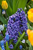 KEUKENHOF GARDENS, NETHERLANDS: CLOSE UP PLANT PORTRAIT OF THE BLUE FLOWER OF A HYACINTH - HYACINTHUS BLUE JACKET. BULB, SPRING, APRIL, FRAGRANT, FRAGRANCE, SCENT, SCENTED