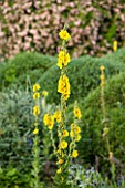 EASTLEACH HOUSE, GLOUCESTERSHIRE: CLOSE UP PLANT PORTRAIT OF THE YELLOW FLOWERS OF VERBASCUM GAINSBOROUGH - MULLEIN, CREAM, FLOWER