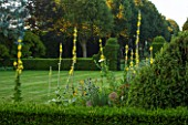 EASTLEACH HOUSE, GLOUCESTERSHIRE: VIEW ACROSSLAWN THROUGH SPIKES OF VERBASCUM GAINSBOROUGH TO HEDGING. ENGLISH, COUNTRY, GARDEN, GREEN, SUMMER