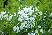 BELMONT HOUSE, SUSSEX - DESIGN ANTHONY PAUL: CLOSE UP OF WHITE FLOWERS OF SOLANUM CRISPUM ALBUM, BLOOMS, JULY, SUMMER, SHRUBS, CLIMBERS, CLIMBING, WHITE POTATO VINE