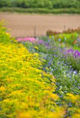 THE REAL FLOWER COMPANY: THE ROSE PADDOCK - ROW OF FENNEL AND OTHER FLOWERS, AUGUST, CUT, ROWS, CUTTING, LATE SUMMER