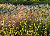 HAUSER & WIRTH, SOMERSET: THE OUDOLF FIELD, DURSLADE FARM - NEW PERENNIAL BORDER PLANTED BY PIET OUDOLF - PHLOMIS RUSSELIANA AND ECHINOPS BANNATICUS
