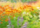 ARTISTIC IMAGE OF HELENIUMS IN BORDER - SLOW SHUTTER SPEED AND TAPPING CAMERA. MOVEMENT, PIET OUDOLF
