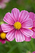 CLOSE UP PLANT PORTRAIT OF THE PINK FLOWER OF COSMOS BIPINNATUS ANTIQUITY - FLOWERS, SEPTEMBER, ANNUAL, FLOWERING