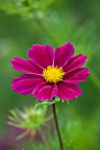 CLOSE UP PLANT PORTRAIT OF THE PINK FLOWER OF COSMOS BIPINNATUS VERSAILLES TETRA ( VERSAILLES SERIES ) - FLOWER, SEPTEMBER, ANNUAL, FLOWERING