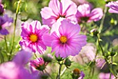 CLOSE UP PLANT PORTRAIT OF THE PINK FLOWER OF COSMOS BIPINNATUS FIZZY PINK  ( FIZZY SERIES ) - FLOWER, SEPTEMBER, ANNUAL, FLOWERING