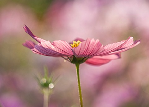 CLOSE_UP_PLANT_PORTRAIT_OF_THE_PINK_FLOWERS_OF_COSMOS_BIPINNATUS_RUBENZA__FLOWER_SEPTEMBER_ANNUAL_FL