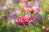 CLOSE UP PLANT PORTRAIT OF THE PINK FLOWERS OF COSMOS BIPINNATUS RUBENZA - FLOWER, SEPTEMBER, ANNUAL, FLOWERING