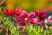 CLOSE UP PLANT PORTRAIT OF THE PINK FLOWER OF COSMOS BIPINNATUS RUBENZA. FLOWERS, PETAL, PETALS, FLOWERING, SEPTEMBER, ANNUAL, RED
