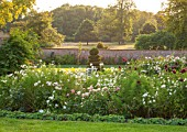KELMARSH HALL, NORTHAMPTONSHIRE: EVENING SUNLIGHT ON DAHLIA BORDER IN WALLED GARDEN WITH PARK PRINCESS,JAN LENNON,ADMIRAL RAWLINGS, ICE QUEEN & MOOR PLACE.WITH WHITE COSMOS