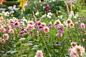 KELMARSH HALL, NORTHAMPTONSHIRE: LATE SUMMER MEADOW PLANTING OF PINK DAHLIA GERRIE HOEK WITH ECHINACEA PURPUREA, WHITE COSMOS & AMMI VISNAGA. BORDER, PERENNIAL, ANNUAL.