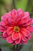 KELMARSH HALL, NORTHAMPTONSHIRE: CLOSE UP OF PINK DAHLIA BISHOP OF CANTERBURY . FLOWER, LATE SUMMER, PERENNIAL, TUBER