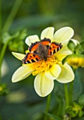 KELMARSH HALL, NORTHAMPTONSHIRE: TORTOISESHELL BUTTERFLY ON DAHLIA LUCKY DUCKY (ANEMONE). PALE YELLOW FLOWER, WILDLIFE, NATURE, CLOSE UP, SUMMER.