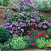 CLEMATIS PERLE DAZURE CLIMBS OVER WALL ONTO PHLOX STARFIRE AND SEDUM SPECTABILE .  VALE END  SURREY.