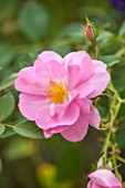 CLOSE UP PLANT PORTRAIT OF THE PINK FLOWER OF DAVID AUSTIN ROSE - ROSA CARIAD AUSPANNIER - FLOWERS, PETAL, PETALS, SUMMER, SCENT, SCENTED, FRAGRANT, FRAGRANCE, SHRUB, ENGLISH