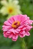 CLOSE UP PLANT PORTRAIT OF THE PINK FLOWER OF ZINNIA ELEGANS ( GIANT DOUBLE MIXED ) - SUMMER, PETAL, PETALS, FLOWERING