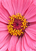 CLOSE UP PLANT PORTRAIT OF THE PINK FLOWER OF ZINNIA ELEGANS ( GIANT DOUBLE MIXED ) - SUMMER, PETAL, PETALS, FLOWERING, CENTRE