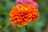 CLOSE UP PLANT PORTRAIT OF THE ORANGE FLOWER OF ZINNIA ELEGANS ( GIANT DOUBLE MIXED ) - SUMMER, PETAL, PETALS, FLOWERING