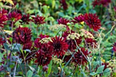 MORTON HALL GARDENS, WORCESTERSHIRE: KITCHEN GARDEN IN LATE SUMMER. DARK RED DAHLIA  CHAT NOIR  AND FOENICULUM VULGARE  GIANT BRONZE  - PLANT COMBINATION, ASSOCIATION