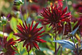 MORTON HALL GARDENS, WORCESTERSHIRE: KITCHEN GARDEN IN LATE SUMMER. DARK RED DAHLIA  CHAT NOIR  . TUBER, TUBEROUS, PLANT PORTRAIT, FLOWER, FLOWERS